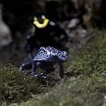 rana flecha azul venenosa especie exhibido en el acuario inbursa 3