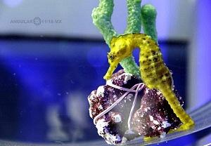 INBURSA estrena acuario interactivo caballito de mar