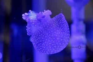INBURSA estrena acuario interactivo medusas