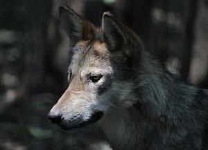 lobo mexicano es la subespecie de lobo más pequeña de Norteaméica en cautiverio