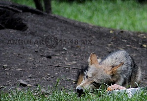 lobo mexicano es la subespecie de lobo más pequeña de Norteamérica 1