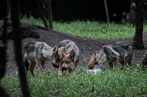 lobo mexicano es la subespecie de lobo más pequeña de Norteamérica 3