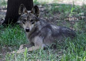 lobo mexicano es la subespecie de lobo más pequeña de Norteamérica