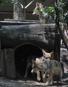 lobo mexicano es la subespecie de lobo más pequeña de Norteamérica 4
