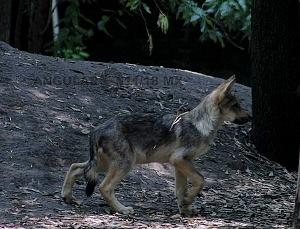 lobo mexicano es la subespecie de lobo más pequeña de Norteamérica en peligro de extinción